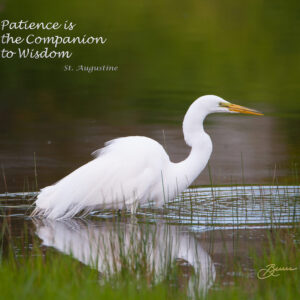 The Great Egret Hunter